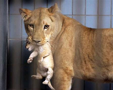 奥尔堡动物园,狮子妈妈叼着她初生的孩子